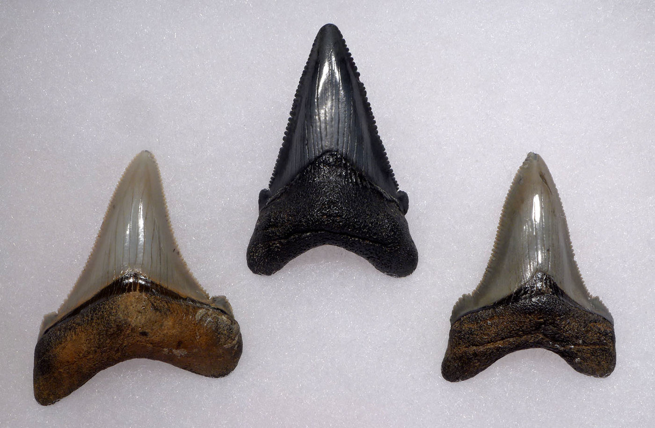 SHX061 - SET OF 3 CARCHAROCLES ANGUSTIDENS FOSSIL SHARK TEETH