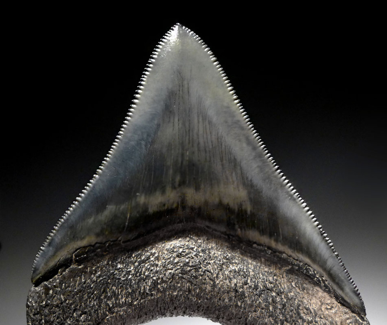POSTERIOR MEGALODON SHARK TOOTH FINEST GRADE WITH CHARCOAL AND BLUE ENAMEL *SH6-415