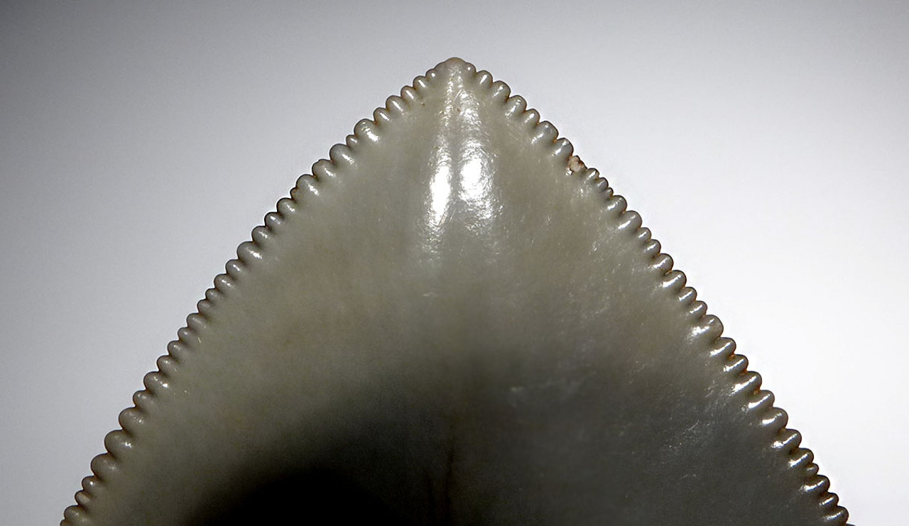 FINEST GRADE MEGALODON TOOTH 4.75 INCH WITH STUNNING MINT GREEN CREAM ENAMEL *SH6-409