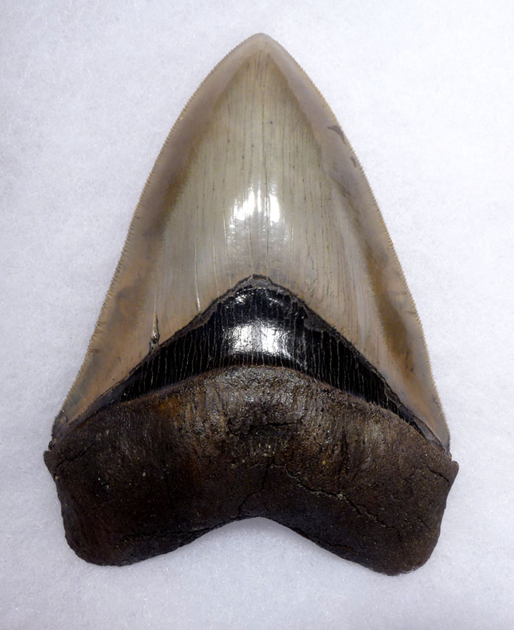 LARGE MEGALODON SHARK TOOTH 5.25 INCH COLLECTOR GRADE WITH STRONG CHATOYANCE *SH6-411