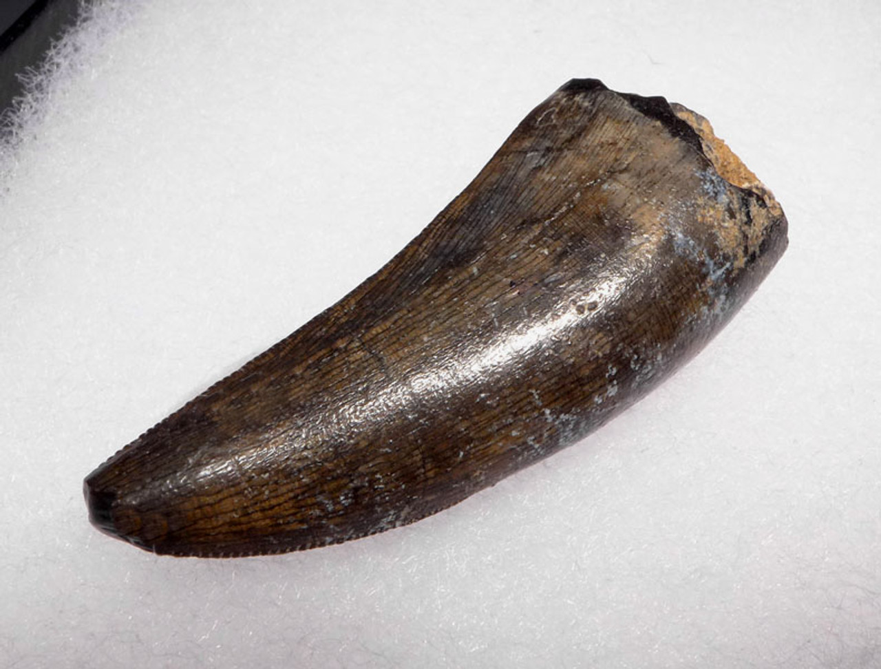 INCREDIBLY RARE AFROVENATOR APEX PREDATOR FOSSIL DINOSAUR TOOTH FROM TENERE