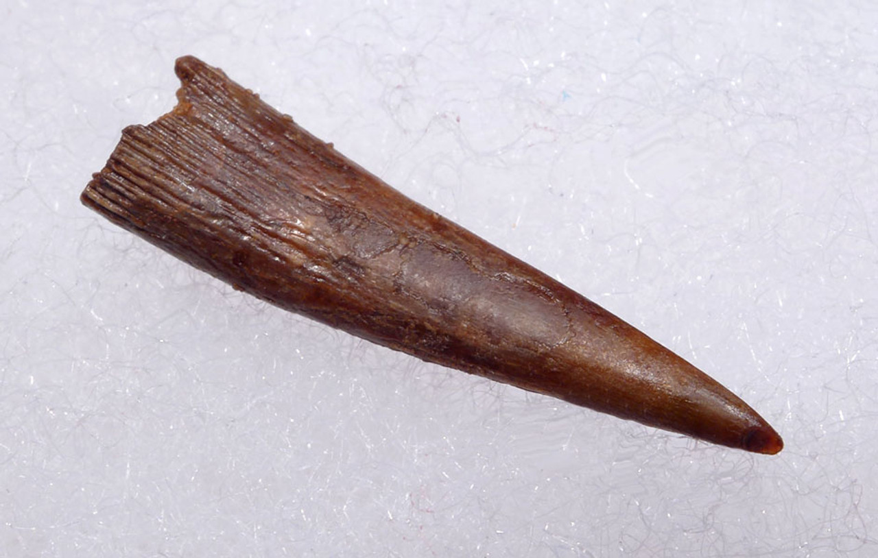 INCREDIBLY SHARP FOSSIL TOOTH FROM A CRETACEOUS PTERODACTYL PTEROSAUR *DT4-108