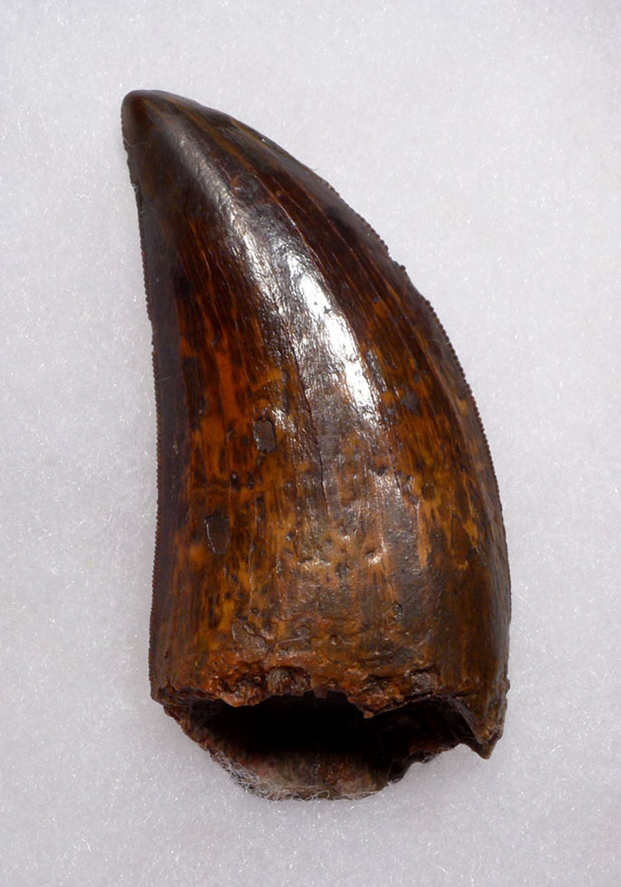 FINEST QUALITY 2.75 INCH CARCHARODONTOSAURUS FOSSIL TOOTH FROM THE LARGEST MEAT-EATING DINOSAUR *DT2-098