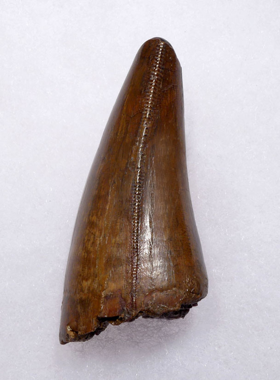 INVESTMENT GRADE UNBROKEN 2.4 INCH TYRANNOSAURUS T REX TOOTH WITH SUPREME PRESERVATION *DT18-116