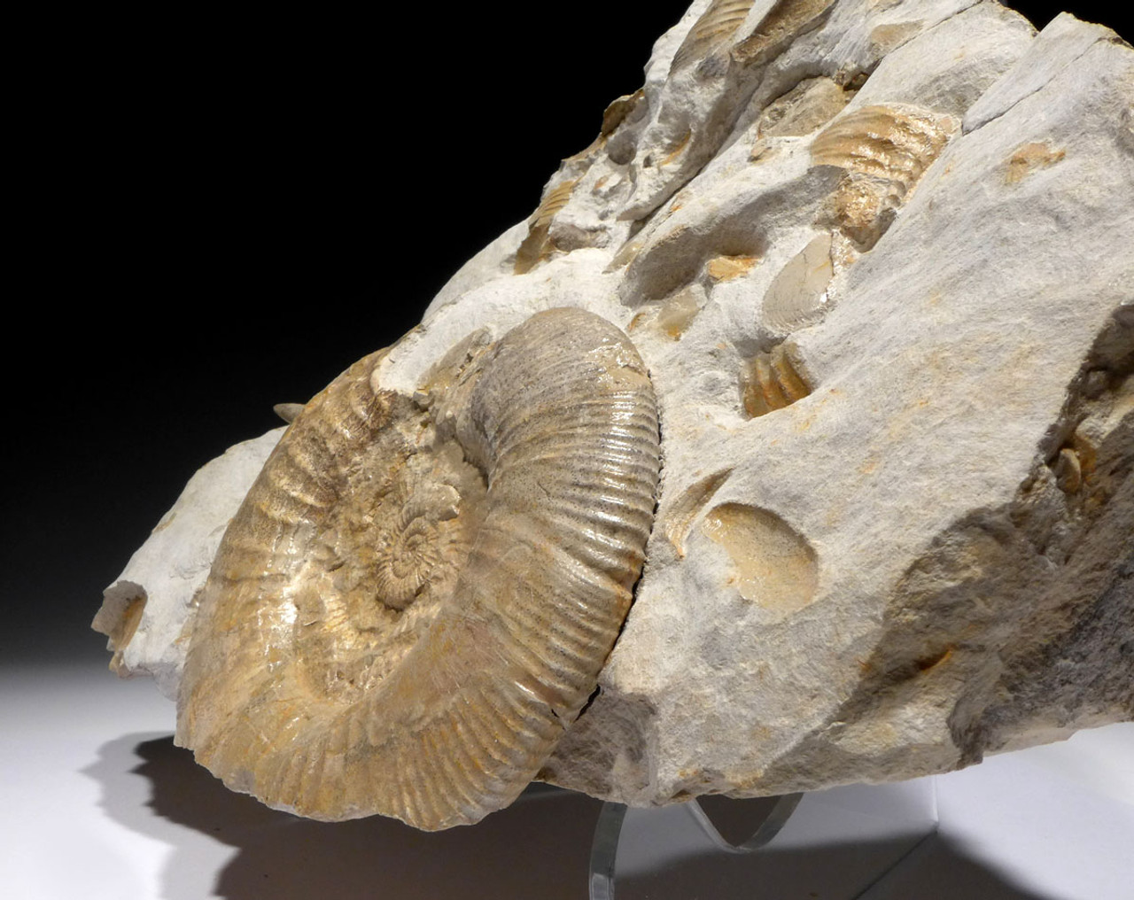 MASS EXTINCTION OCEAN FOSSIL WITH AMMONITES AND BELEMNITES *AMX396