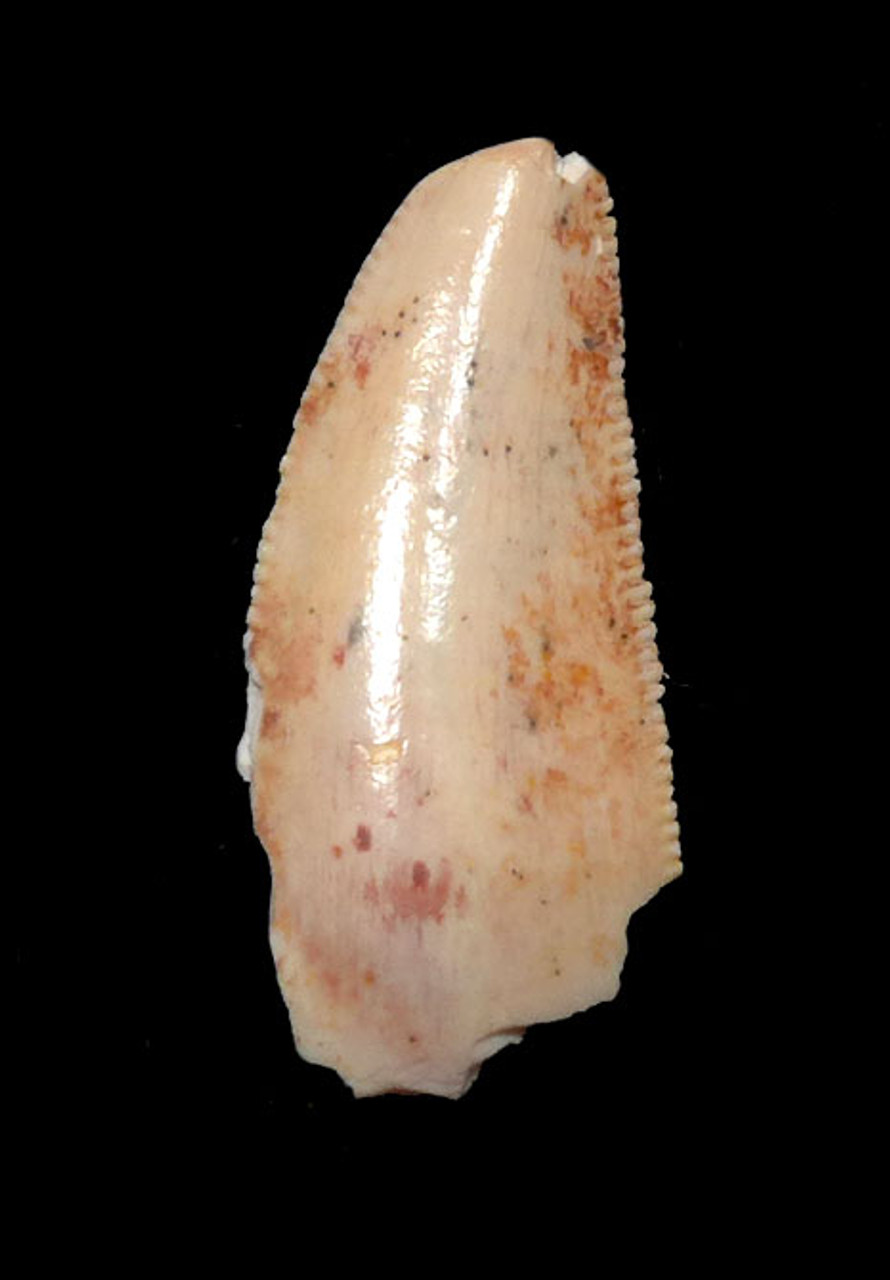 "UNUSUAL WHITE DROMAEOSAUR "" RAPTOR "" DINOSAUR TOOTH *DT6-291"