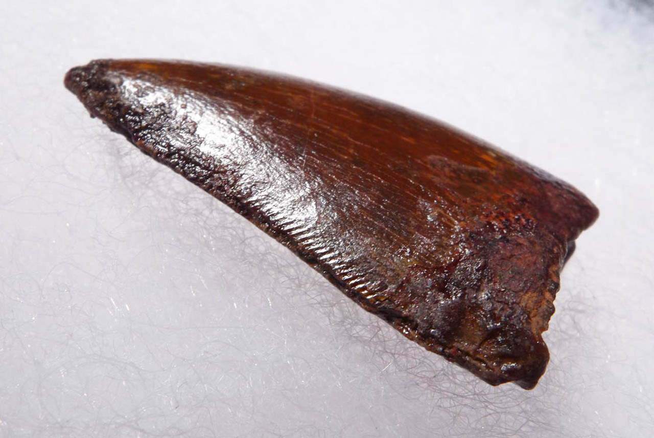 BEAUTIFUL 1.45 INCH UNBROKEN CARCHARODONTOSAURUS FOSSIL DINOSAUR TOOTH *DT2-100