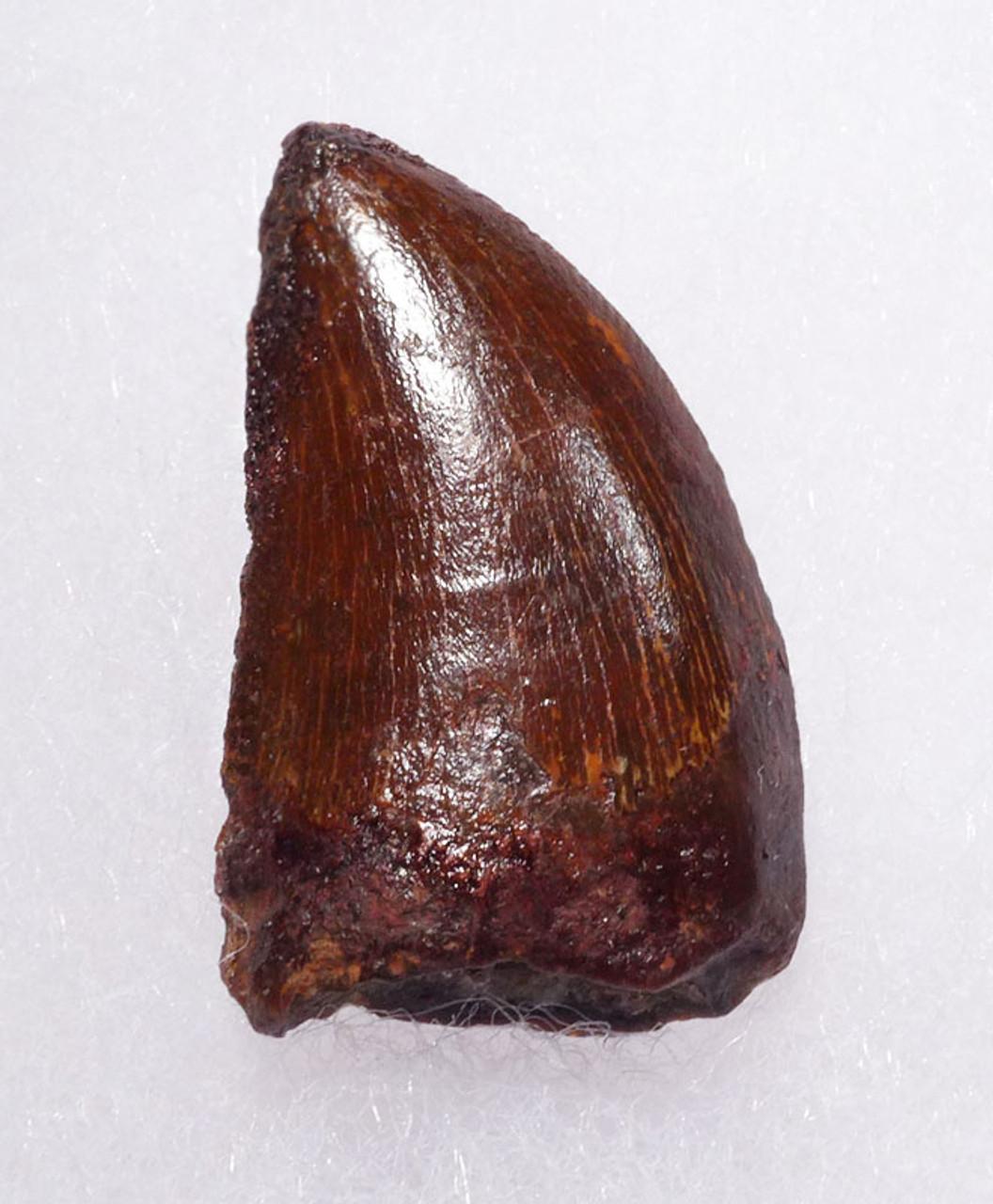 BEAUTIFUL 1.45 INCH UNBROKEN CARCHARODONTOSAURUS FOSSIL DINOSAUR TOOTH *DT2-100