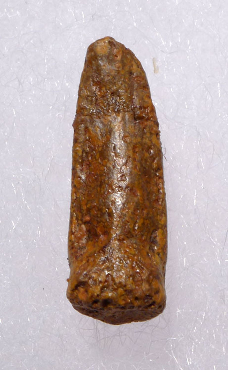 THE SMALLEST FOSSIL TOOTH WE EVER HAD FROM A BABY DIPLODOCOID SAUROPOD DINOSAUR *DT9-030