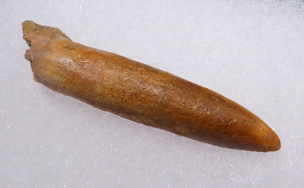 STUNNING UNBROKEN LARGE FOSSIL TOOTH FROM A DIPLODOCOID SAUROPOD DINOSAUR *DT9-029