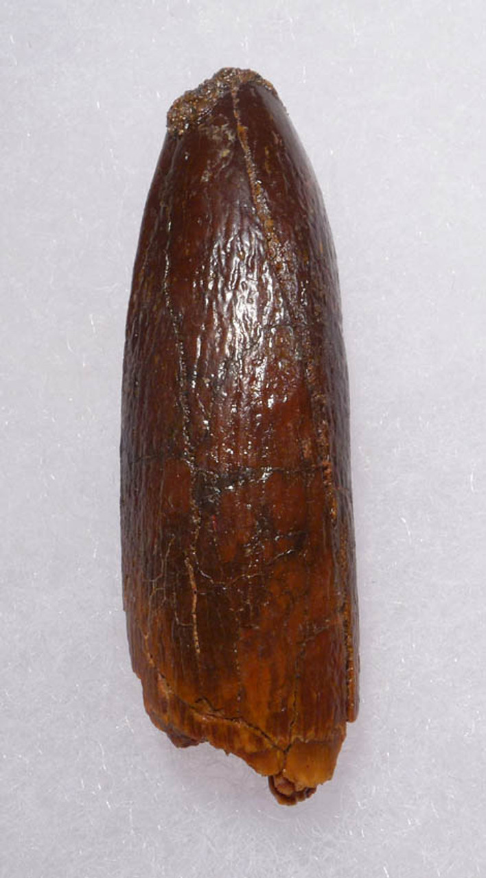 LARGE FOSSIL TOOTH FROM A DIPLODOCOID SAUROPOD DINOSAUR *DT9-028