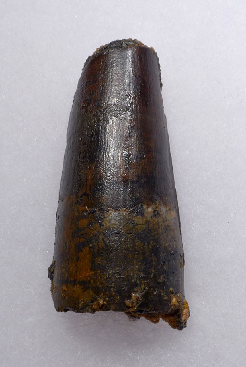 LARGE 2.5 INCH SPINOSAURUS DINOSAUR FOSSIL TOOTH WITH HEAVY FEEDING WEAR FROM A LARGE DINOSAUR *DT5-319