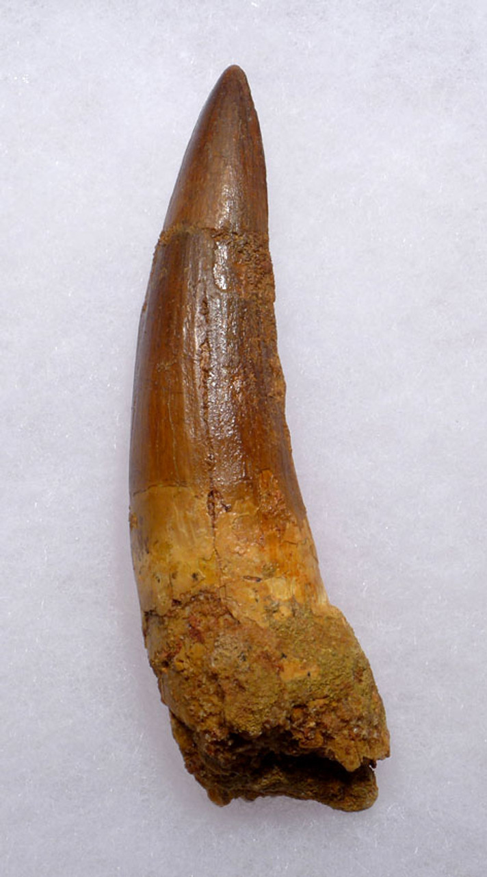 LARGE 3.75 INCH SPINOSAURUS DINOSAUR FOSSIL TOOTH WITH A SHARP TIP*DT5-316