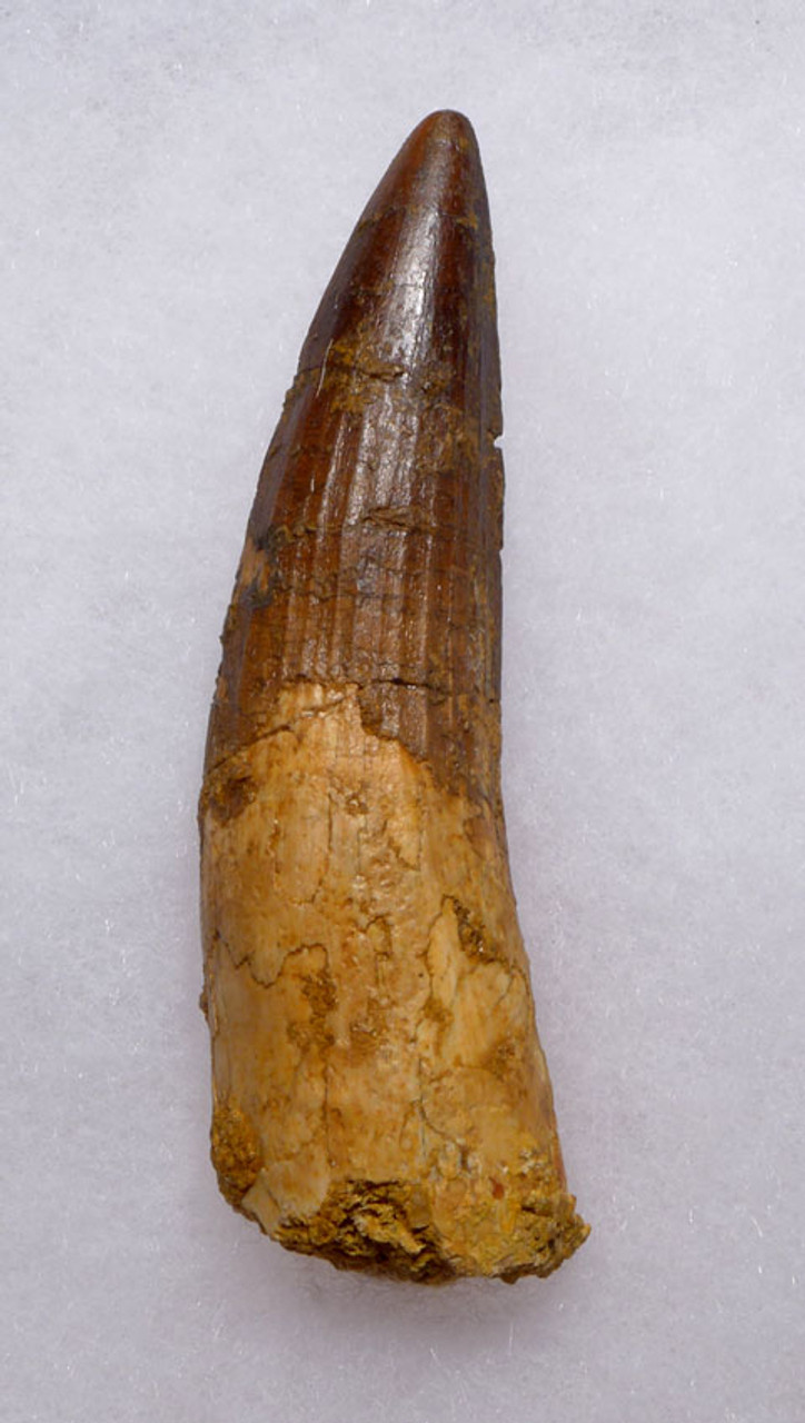 SHARP TIPPED LARGE 3.75 INCH SPINOSAURUS DINOSAUR FOSSIL TOOTH *DT5-315