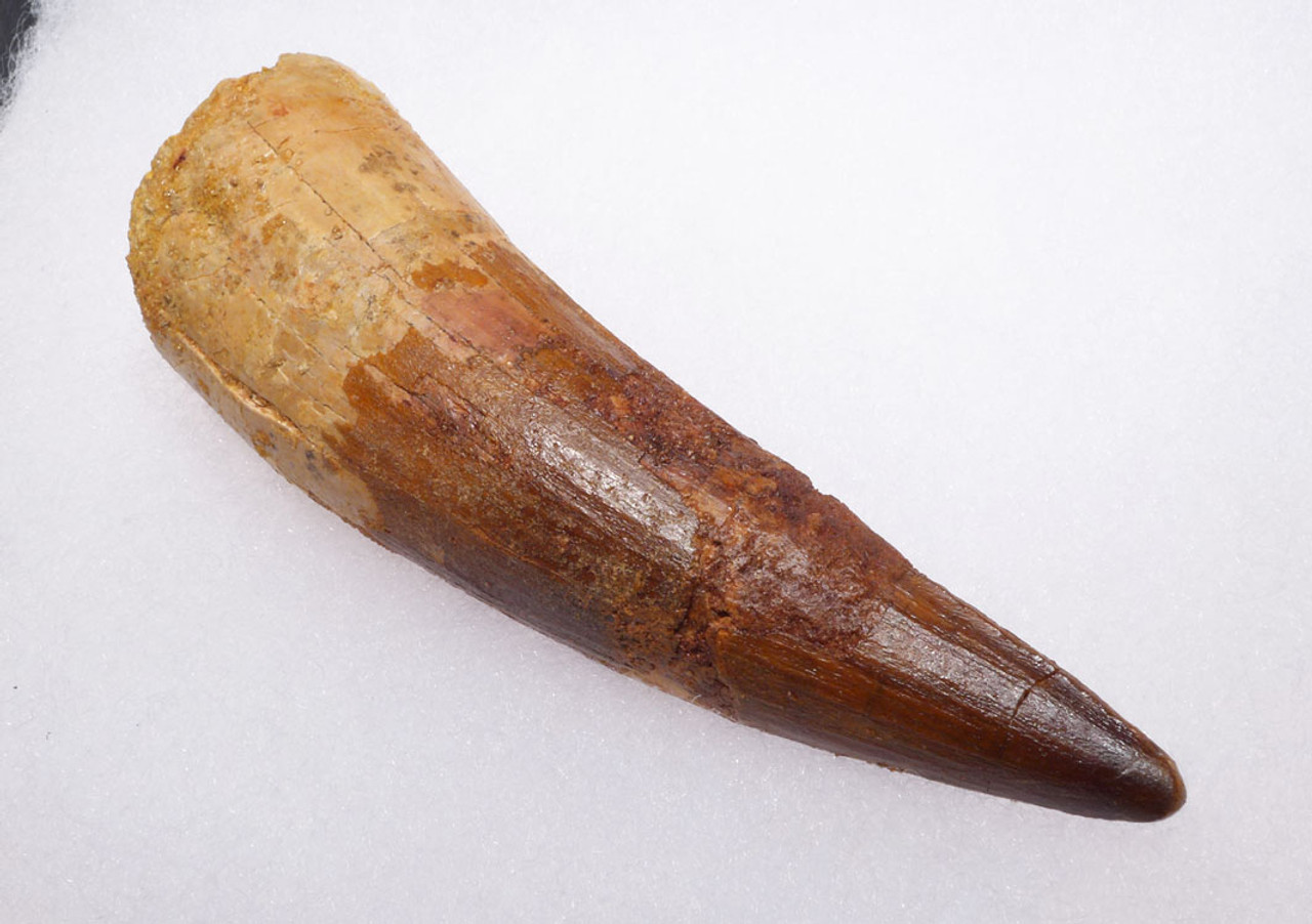 LARGE 4.5 INCH SPINOSAURUS FOSSIL TOOTH FROM A HUGE DINOSAUR *DT5-317