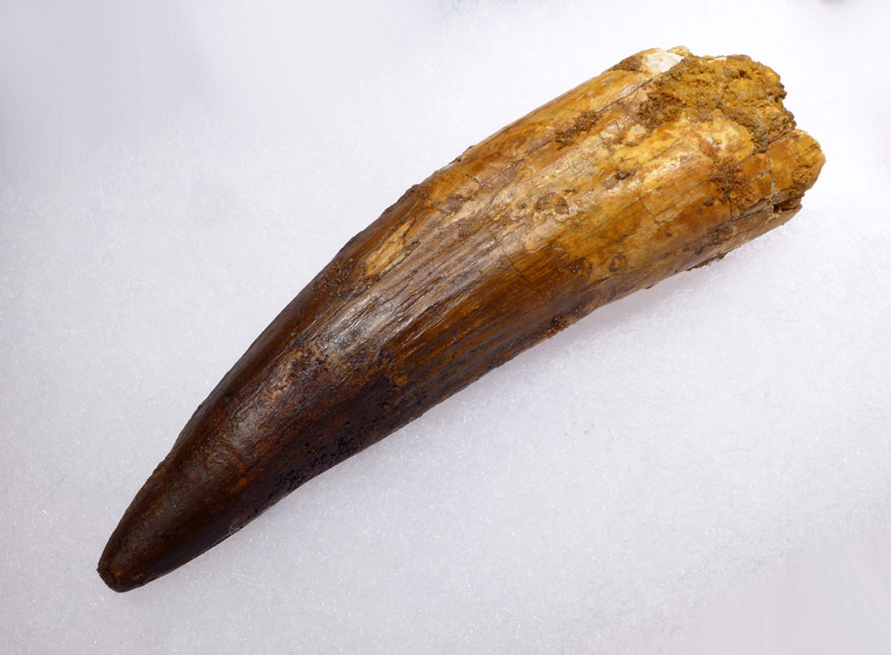 GIANT 4.75 INCH SPINOSAURUS FOSSIL TOOTH FROM A HUGE DINOSAUR *DT5-320