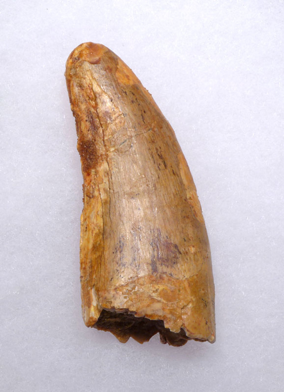 LARGE BUDGET CARCHARODONTOSAURUS FOSSIL TOOTH FROM THE LARGEST MEAT-EATING DINOSAUR DT2-101