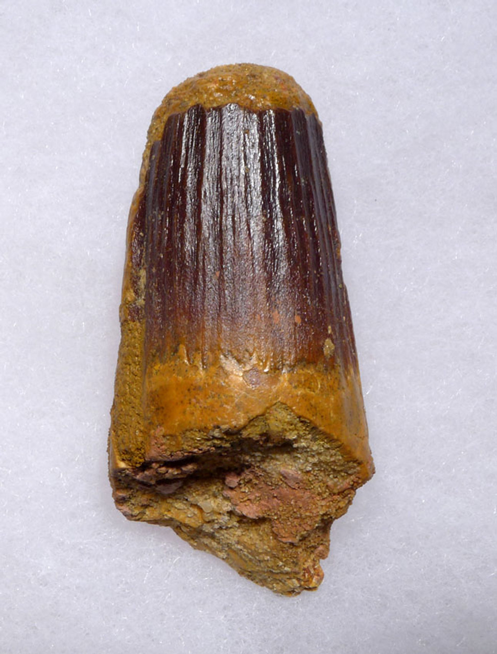 HEAVILY WORN LARGE SPINOSAURUS DINOSAUR FOSSIL TOOTH *DT5-324