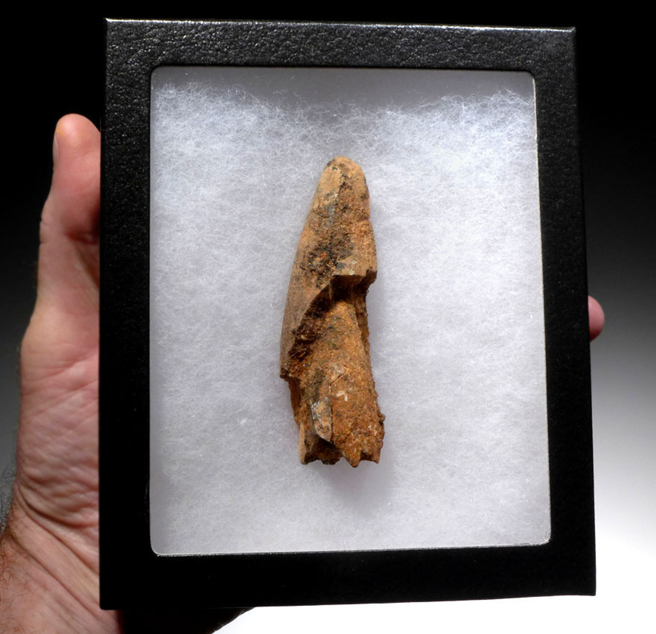 UGLY LARGE 3.5 INCH SPINOSAURUS DINOSAUR FOSSIL TOOTH *DT5-336