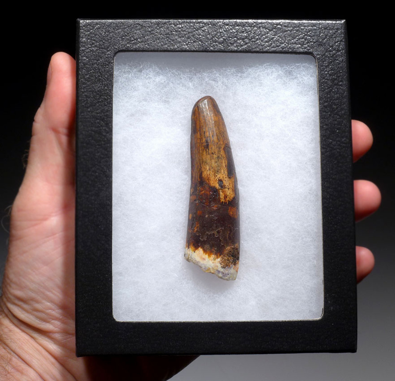 LARGE 3 INCH SPINOSAURUS DINOSAUR FOSSIL TOOTH *DT5-323
