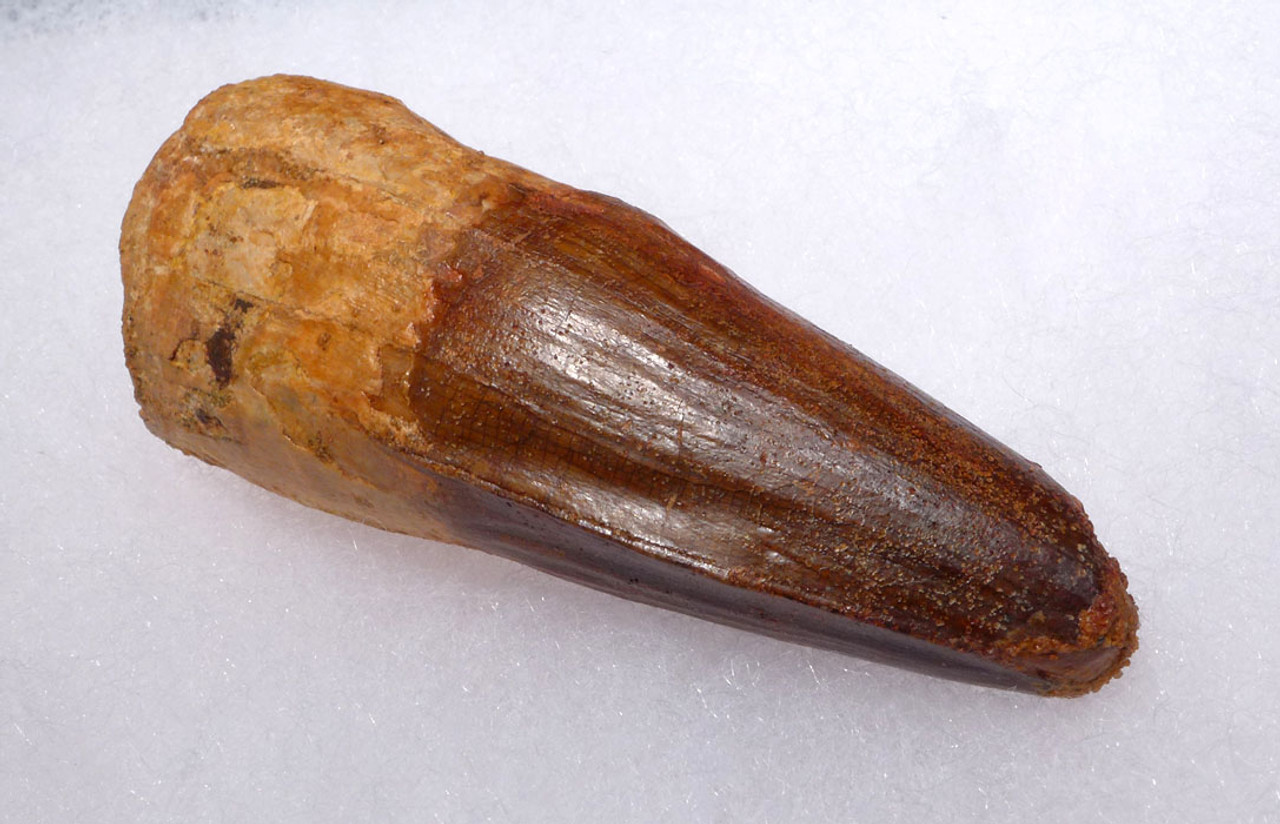 SUPREME UNBROKEN 2.75 INCH SPINOSAURUS FOSSIL TOOTH FROM A LARGE DINOSAUR *DT5-334