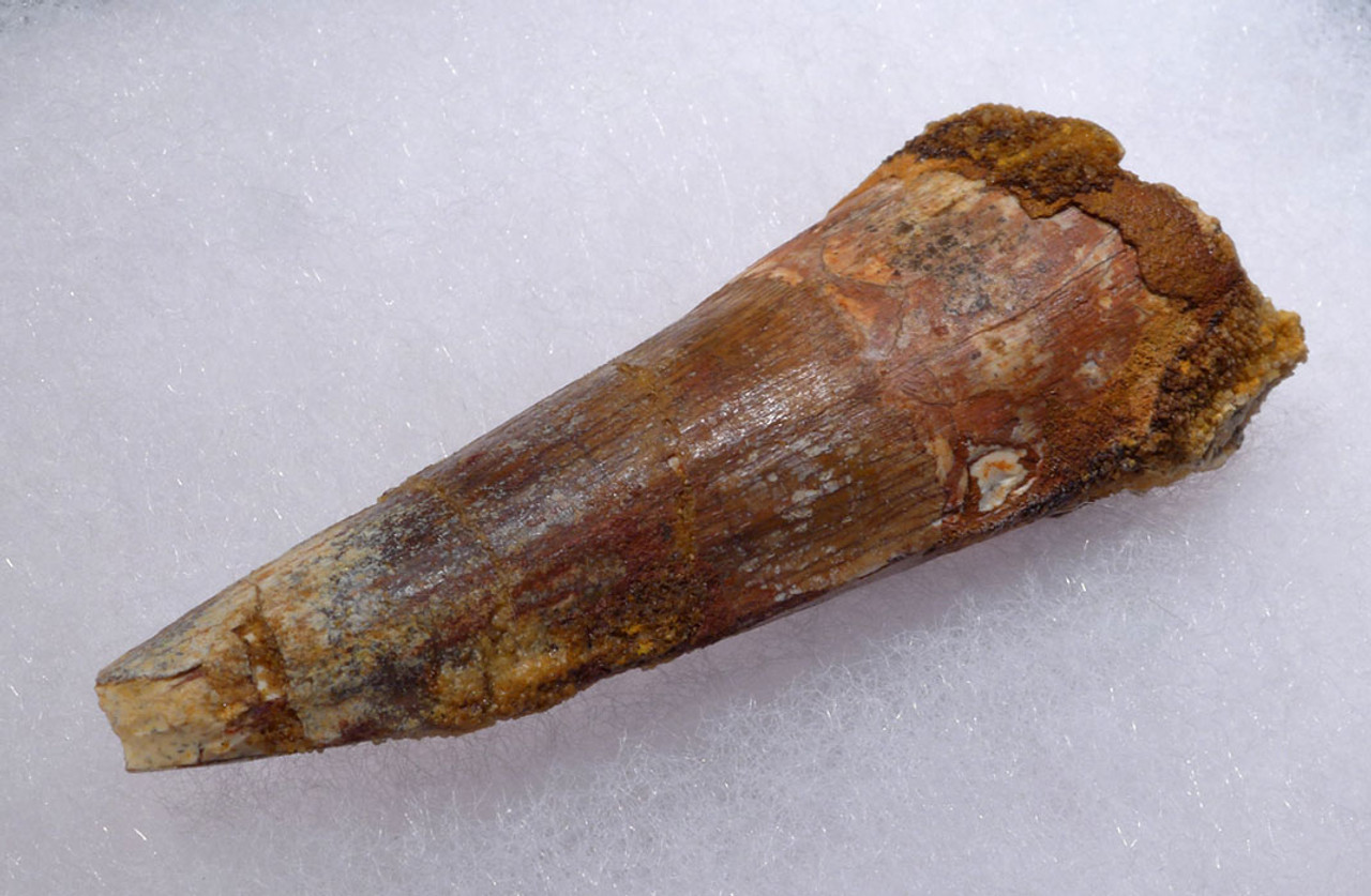 UGLY LARGE 2.5 INCH SPINOSAURUS DINOSAUR FOSSIL TOOTH *DT5-325