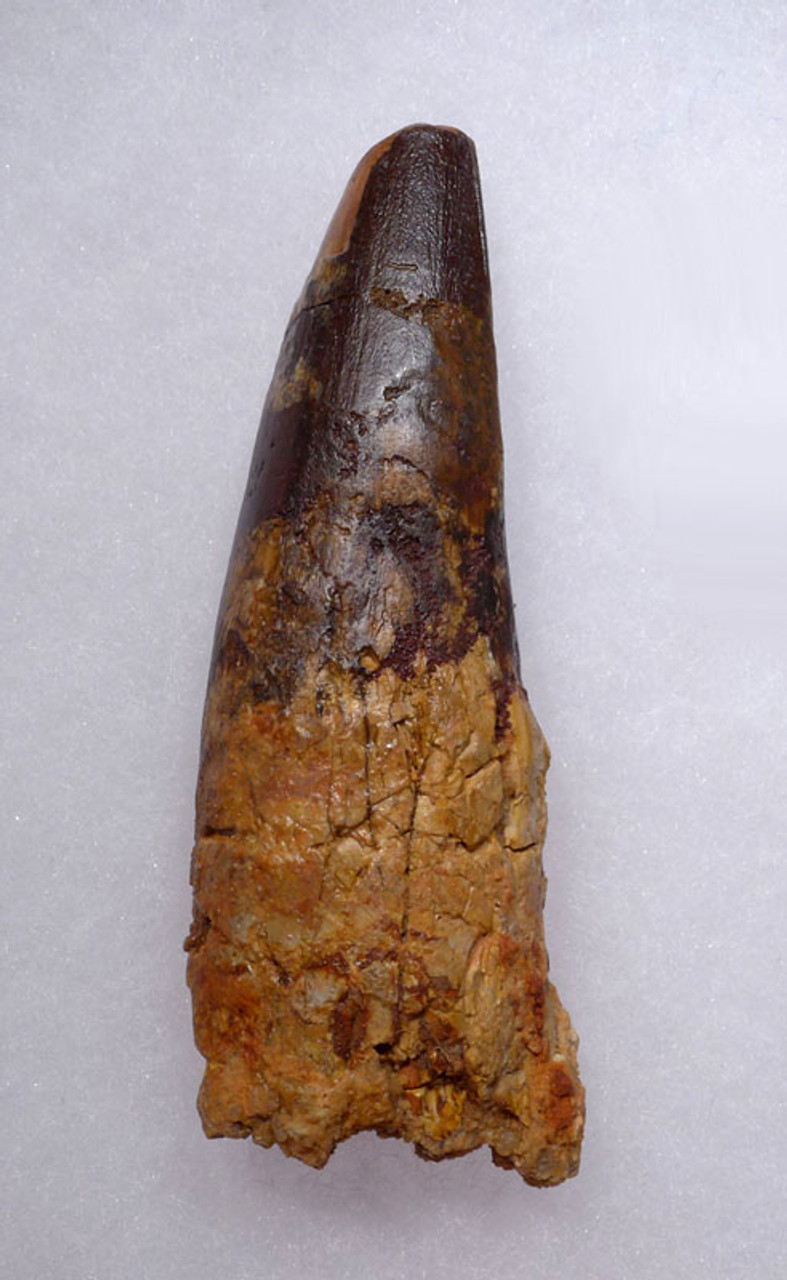 LARGE SPINOSAURUS DINOSAUR TOOTH 3.5 INCHES LONG *DT5-328