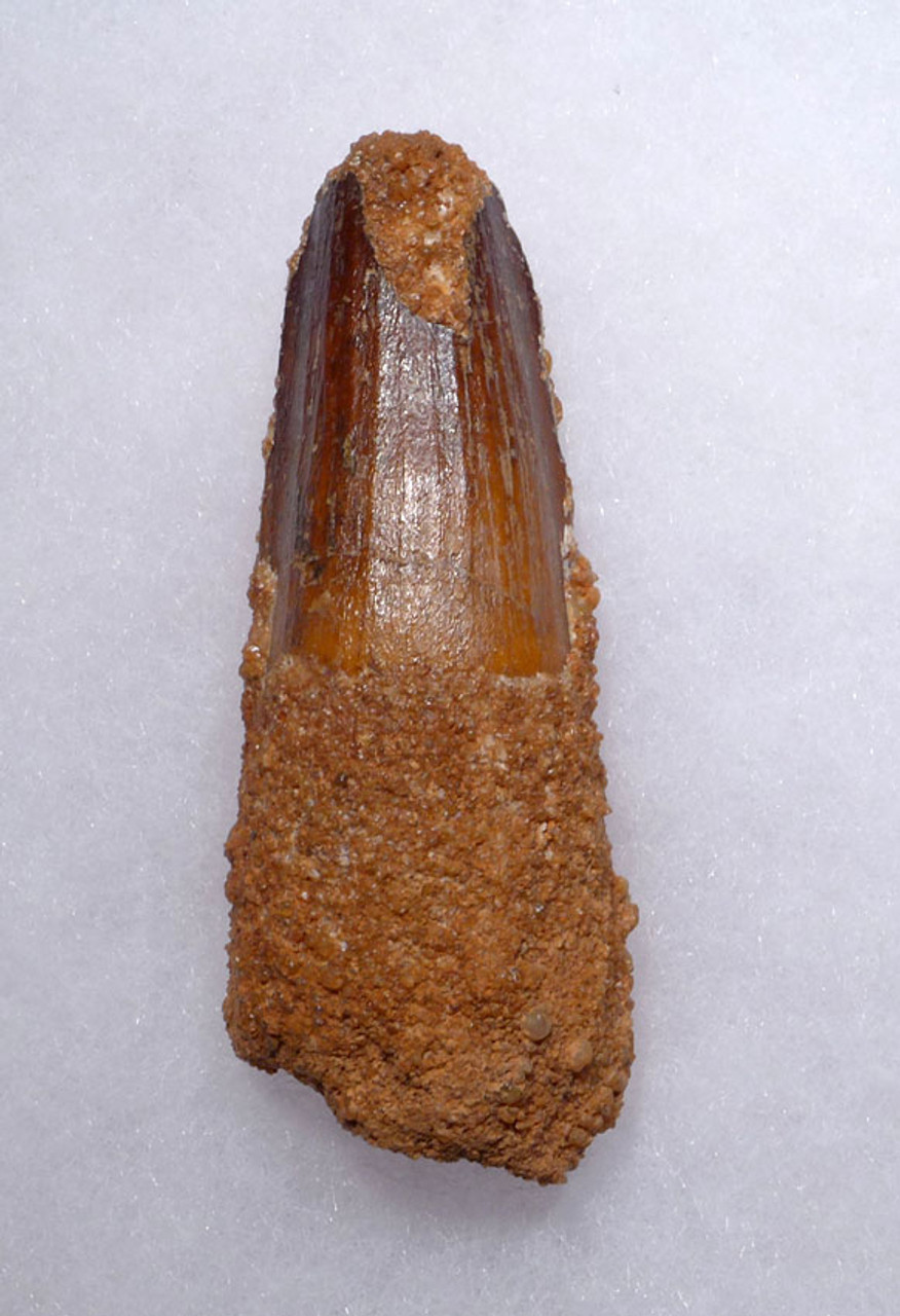 UNBROKEN 2.75 INCH SPINOSAURUS TOOTH FROM A LARGE DINOSAUR *DT5-3279
