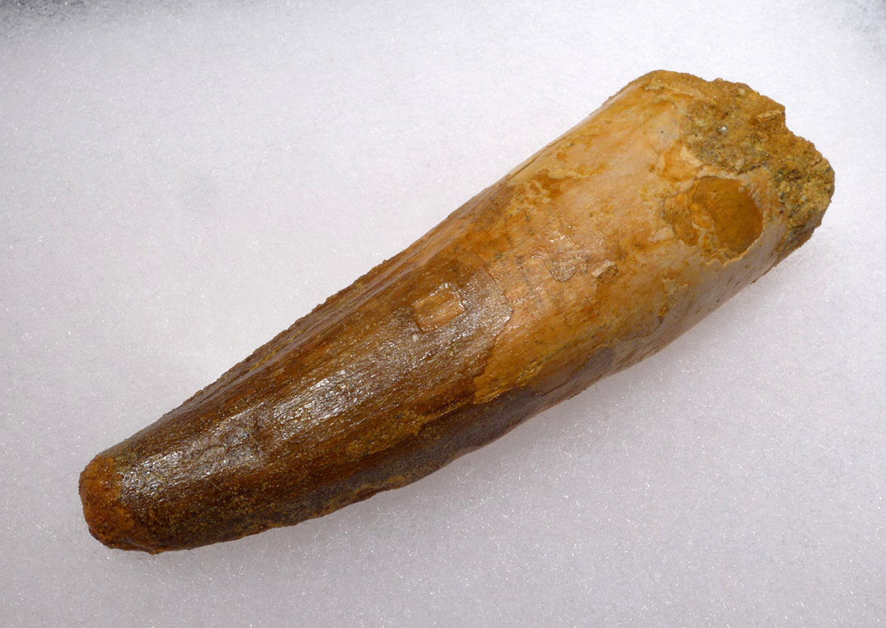 LARGE UNBROKEN 3.5 INCH SPINOSAURUS TOOTH FROM A LARGE DINOSAUR *DT5-340