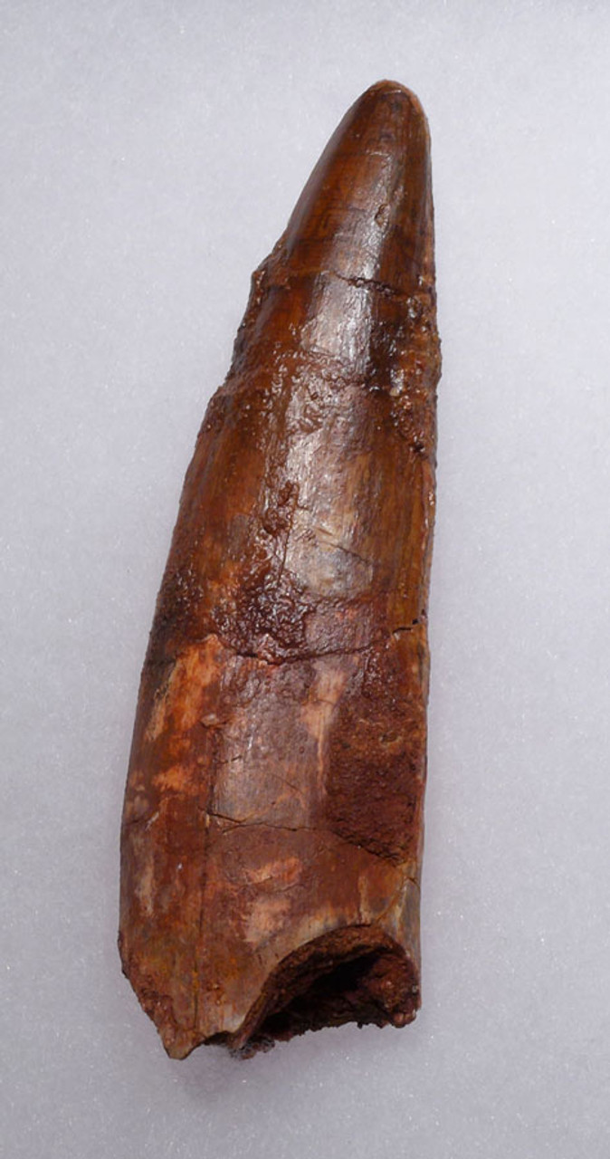 WHOPPER 4 INCH SPINOSAURUS FOSSIL TOOTH FROM A LARGE DINOSAUR *DT5-338