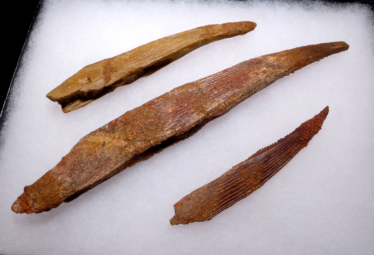 SET OF THREE FOSSIL HYBODUS SHARK SPINES INCLUDING A MAXIMUM SIZE SPINE *SHX062
