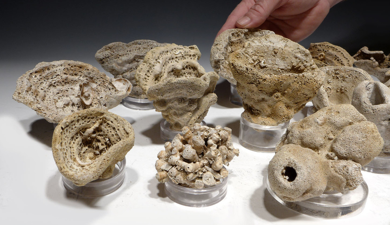 MUSEUM-CLASS COLLECTION OF 16 FARINGDON FOSSIL CRETACEOUS SEA SPONGES FULLY CLEANED *SP9