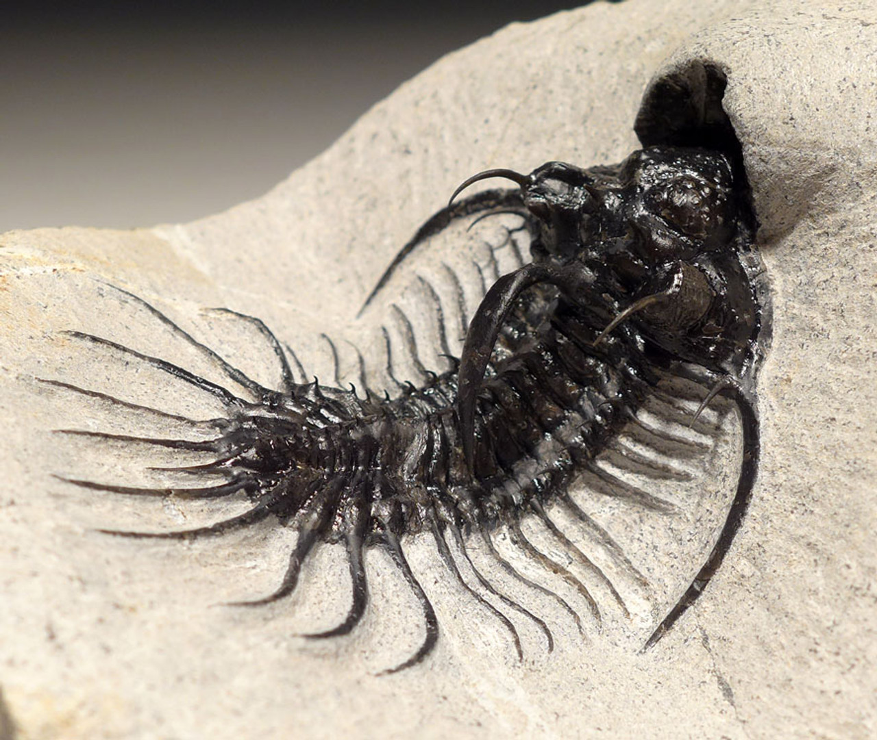 RARE SUPREME GRADE LONG-SPINED SPINY QUADROPS TRILOBITE WITH ALL SPINES EXPOSED *TRX429