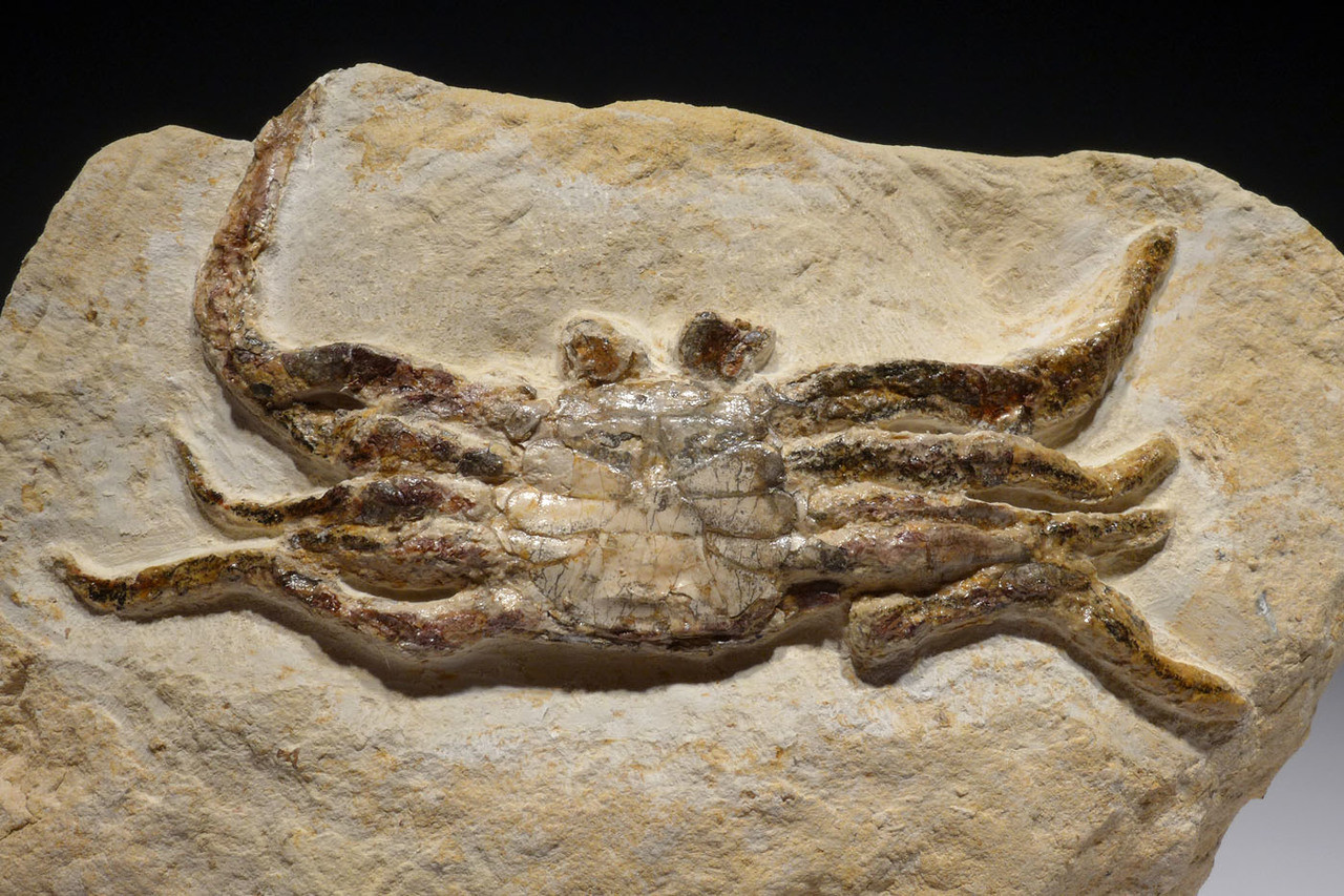 RARE COMPLETE MIOCENE CRAB FOSSIL FROM THE BOSA BEDS OF ITALY *CRUX041