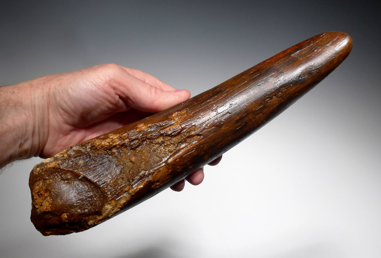 WOOLLY MAMMOTH TUSK FOR SALE