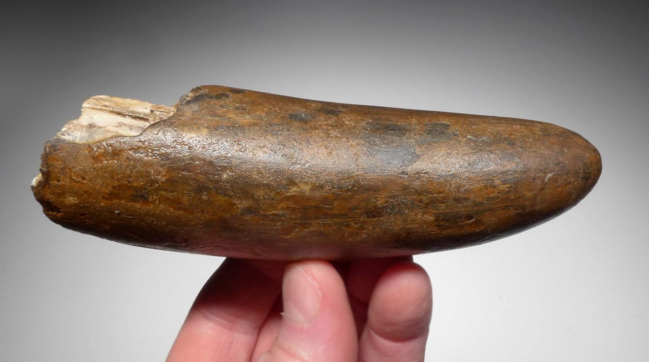 WELL PRESERVED WOOLLY MAMMOTH TUSK TIP END OF EUROPEAN ORIGIN *MTP04