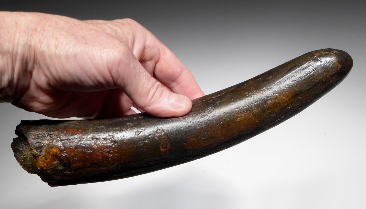 MAMMOTH TUSK FOR SALE