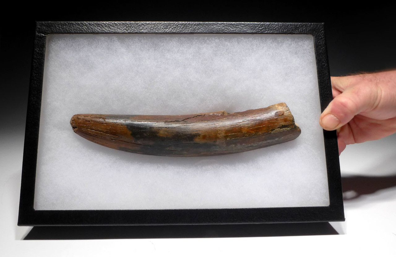 NATURAL WOOLLY MAMMOTH TUSK FOSSIL