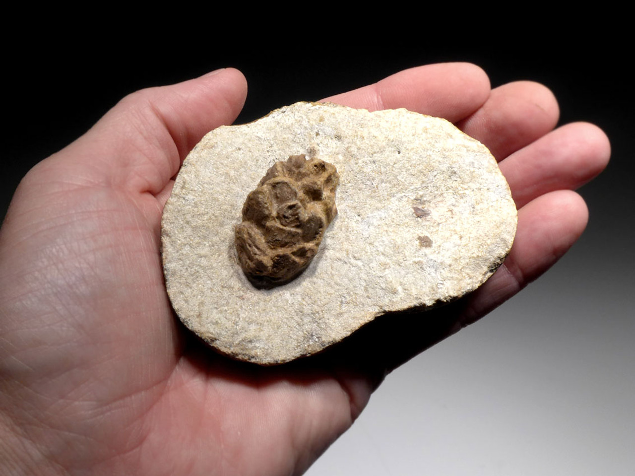 EXCEPTIONAL OLIGOCENE FOSSIL PINE CONE IN CONCRETION FROM BAD KREUZNACH GERMANY *PINC001