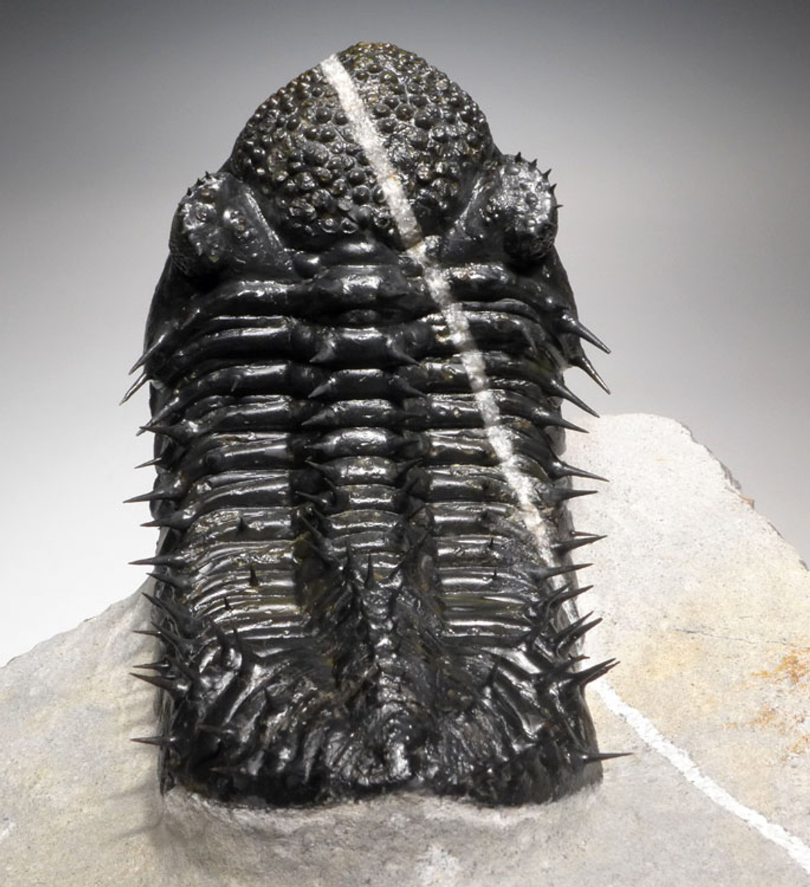 FASCINATING CALCITE VEINED  SPINY DROTOPS MEGALOMANICUS TRILOBITE WITH FINEST PRESERVATION *TRX326