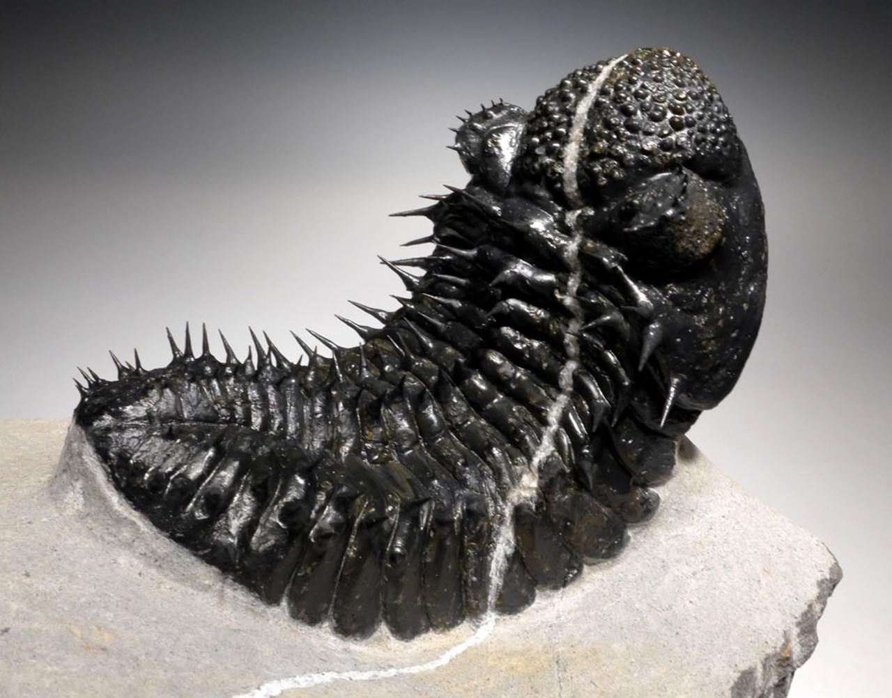 FASCINATING CALCITE VEINED  SPINY DROTOPS TRILOBITE WITH FINEST PRESERVATION *TRX326