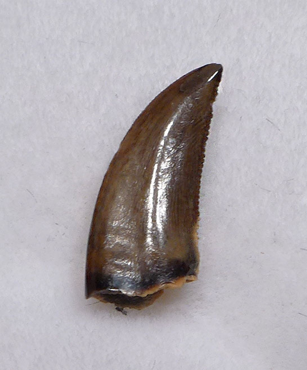 RAPTOR TOOTH FOR SALE