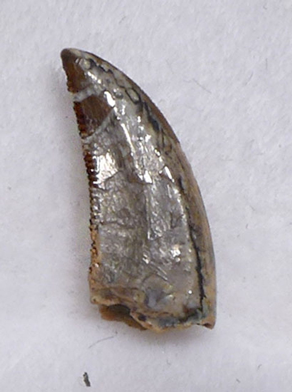 BAMBIRAPTOR TOOTH FOR SALE
