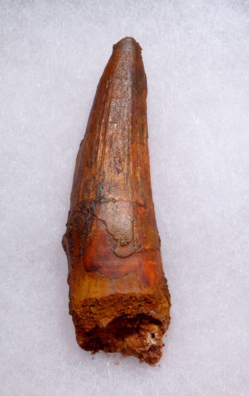 UNBROKEN 2.25 INCH SPINOSAURUS DINOSAUR FOSSIL TOOTH WITH SHARP TIP *DT5-363
