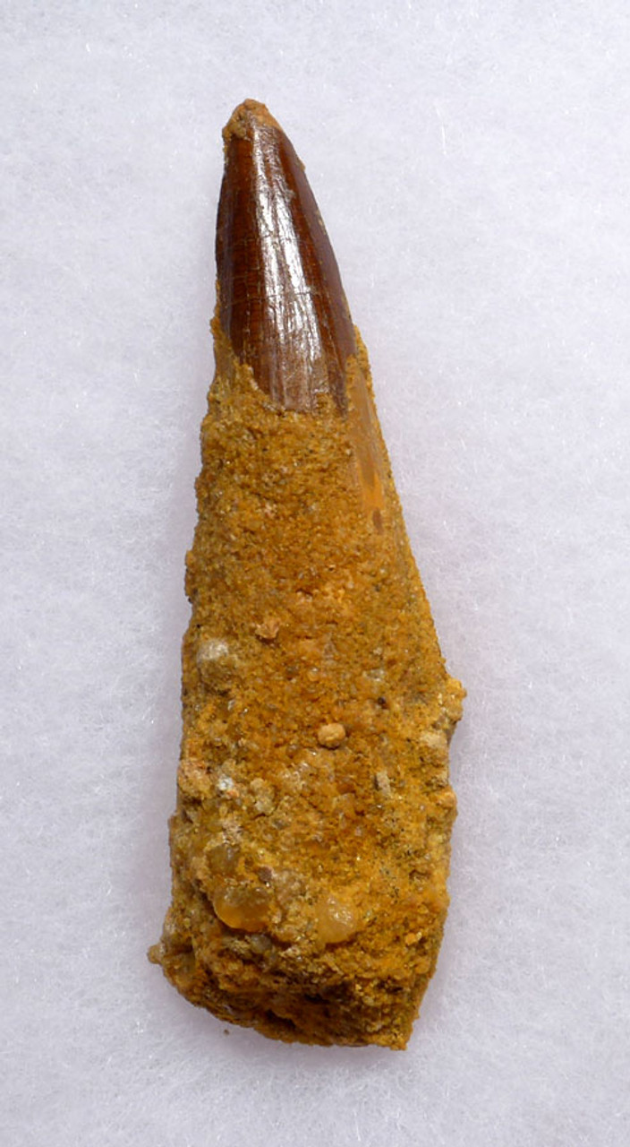 HEAVILY ENCRUSTED 3 INCH SPINOSAURUS DINOSAUR TOOTH FOSSIL WITH SHARP TIP *DT5-360