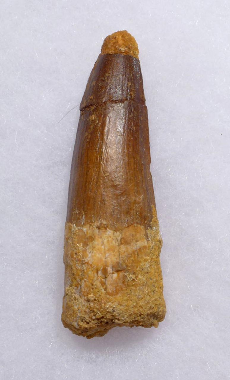 2.4 INCH SPINOSAURUS DINOSAUR FOSSIL TOOTH *DT5-357