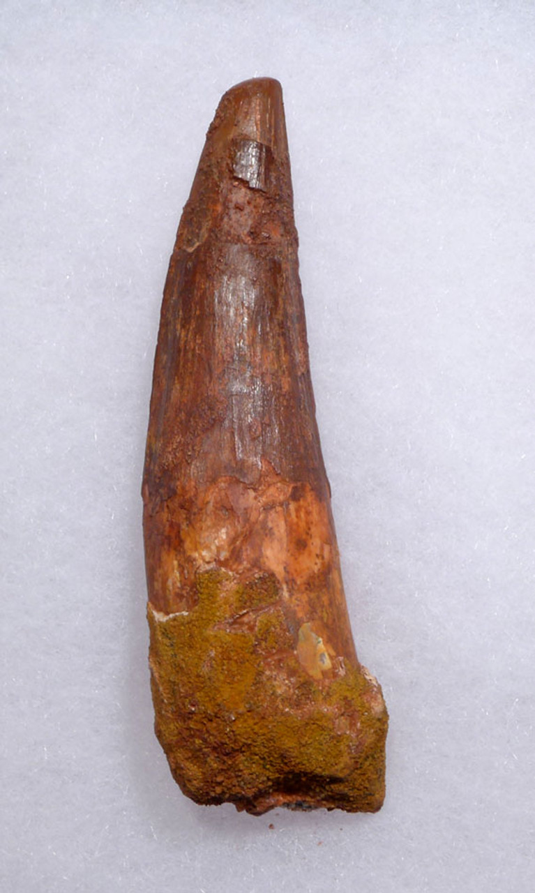 FINE UNBROKEN 3.25 INCH SPINOSAURUS TOOTH FROM A LARGE DINOSAUR *DT5-344