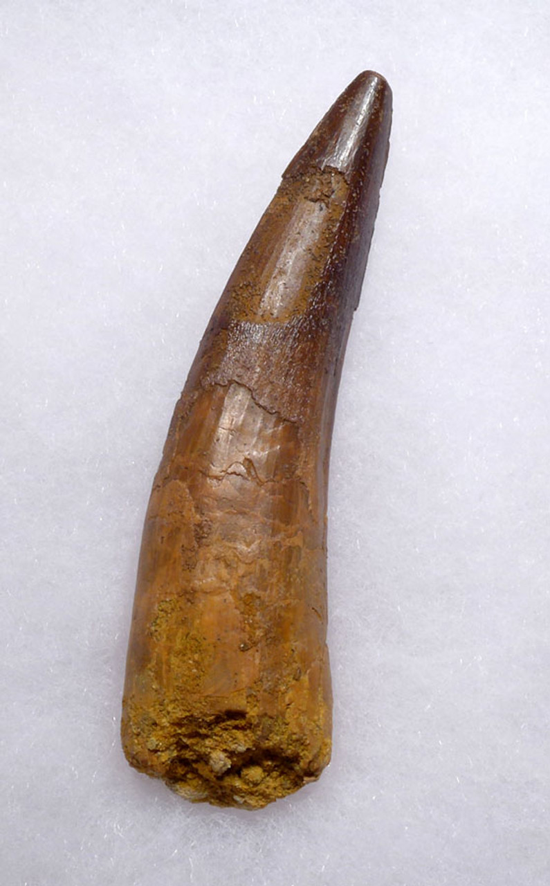 LARGE INTACT 3.25 INCH SPINOSAURUS TOOTH WITH A SHARP TIP *DT5-356