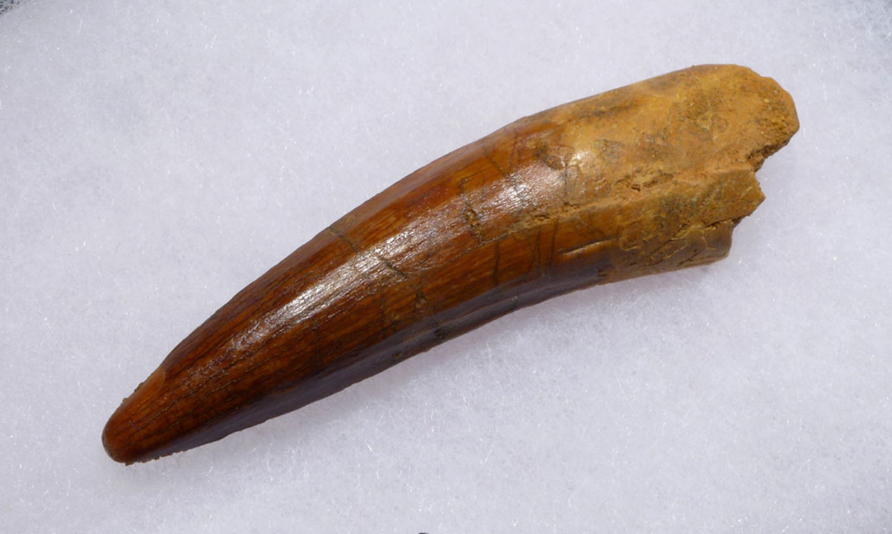 FINE LARGE 3 INCH SPINOSAURUS DINOSAUR FOSSIL TOOTH WITH SHARP TIP *DT5-343