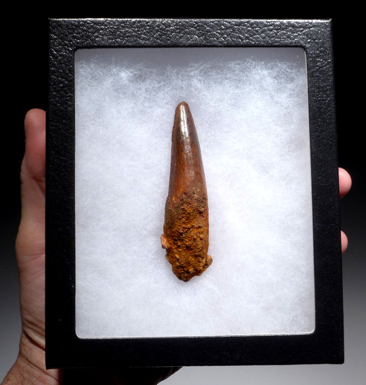 SUPREME UNBROKEN 3.5 INCH SPINOSAURUS FOSSIL TOOTH WITH A SHARP TIP *DT5-347
